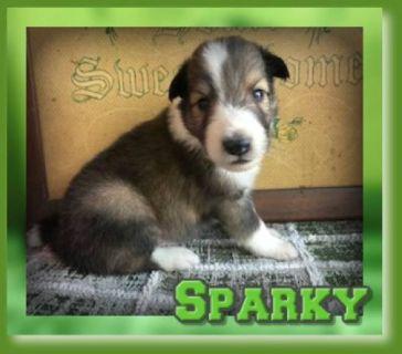 Sparky Male Shetland Sheepdog