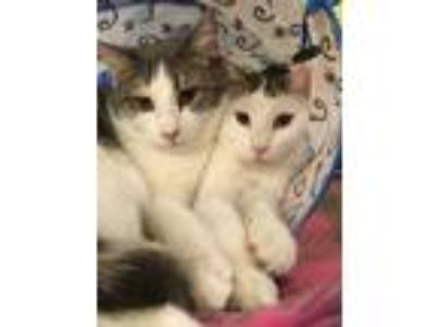 Adopt Arlo & Nate a Gray, Blue or Silver Tabby Domestic Shorthair (short coat)