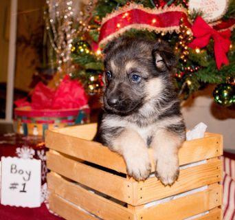 German Shepherd Dog PUPPY FOR SALE ADN-106988 - AKC German Shepherd Puppy