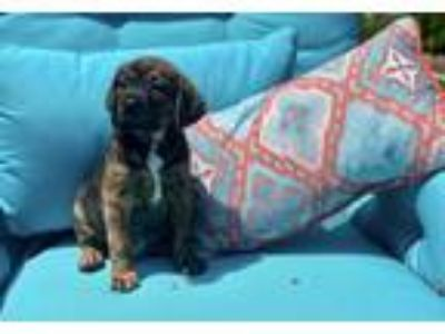 Adopt Frito Lonestar* a Brindle - with White Shepherd (Unknown Type) / Labrador