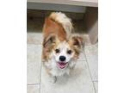 Adopt Pappy a Brown/Chocolate Pekingese / Mixed dog in Galveston, TX (25330385)