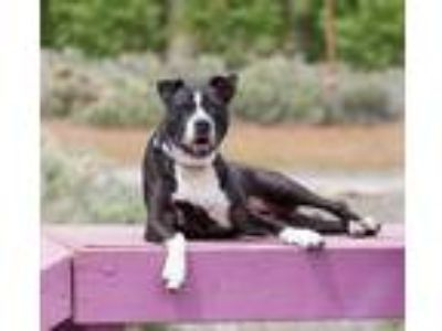 Adopt Jessie a Black - with White Pit Bull Terrier / Mixed dog in Washoe Valley