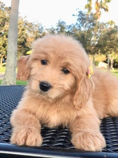 Goldendoodle PUPPY FOR SALE ADN-105331 - Belle F1Goldendoodle