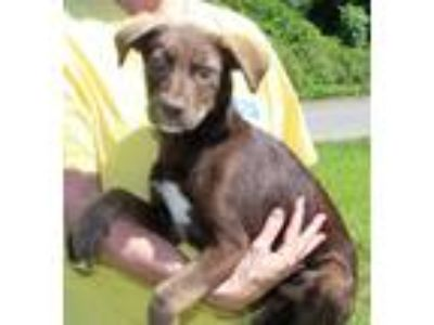 Adopt Hazel 30558 a Brown/Chocolate - with White Labrador Retriever / Husky /