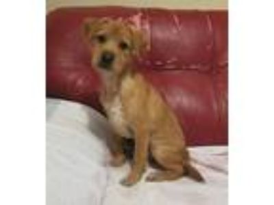 Adopt Barney a Red/Golden/Orange/Chestnut Border Terrier / Mixed dog in