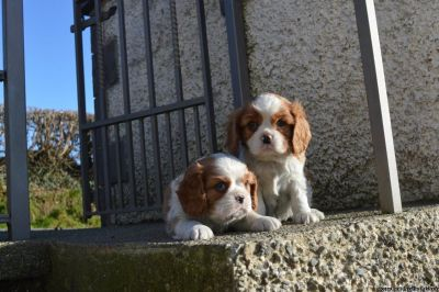Electrifying Cavalier King Charles Spaniel Puppies