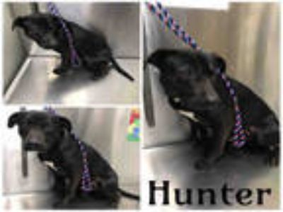 Adopt HUNTER a Black - with White American Pit Bull Terrier / Mixed dog in