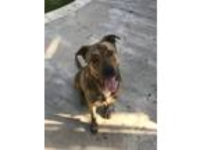 Adopt Opie a Brindle German Shepherd Dog / American Pit Bull Terrier / Mixed dog