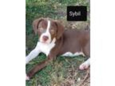 Adopt Sybil Falk a Brown/Chocolate - with White Border Collie / Labrador