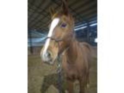 153 hh Mustang Mare
