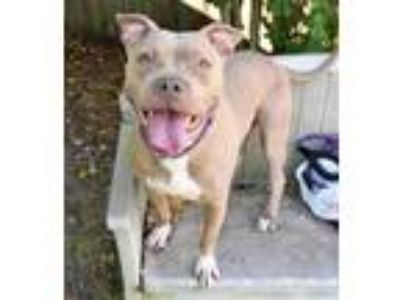 Adopt Diamond - In front office a Tan/Yellow/Fawn American Pit Bull Terrier /