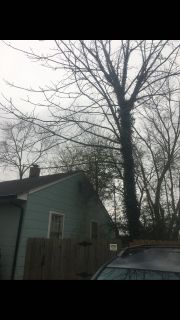 Walnut tree for sale