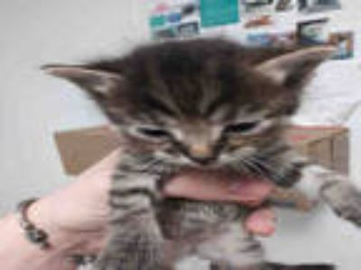 Adopt PAISLEY a Brown Tabby Domestic Shorthair / Mixed (short coat) cat in