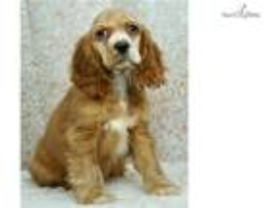 Charming AKC Cocker Spaniel Puppy Read to go