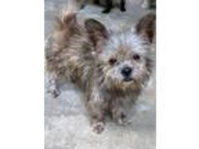 Adopt Tuggles a Cairn Terrier, Yorkshire Terrier