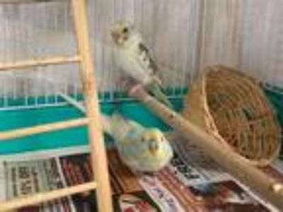 Adopt KIT KAT a Yellow Parakeet - Other / Mixed bird in Fort Wayne