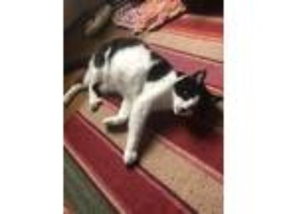 Adopt Lil Mama a Black & White or Tuxedo American Shorthair cat in Rochester