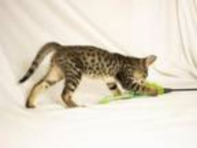 F6 SBT Boy Savannah Kitten