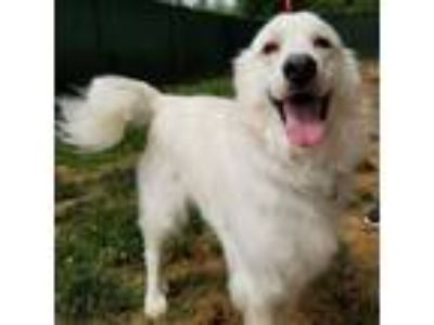 Adopt Nozi a Great Pyrenees