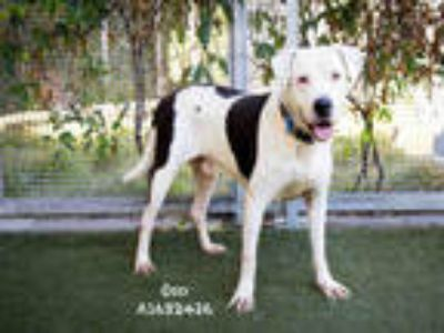 Adopt OSO a White Mixed Breed (Medium) / American Pit Bull Terrier / Mixed dog