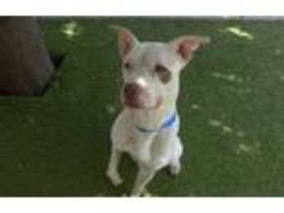 Adopt BLANCO a White - with Brown or Chocolate American Pit Bull Terrier / Mixed