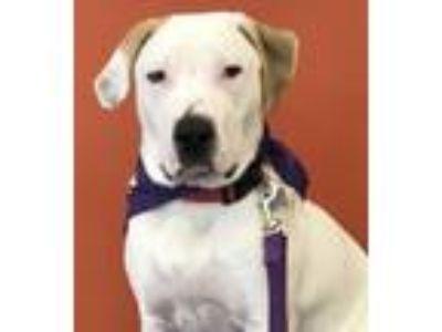 Adopt Leif-PLEASE DONATE! a White - with Tan, Yellow or Fawn Labrador Retriever