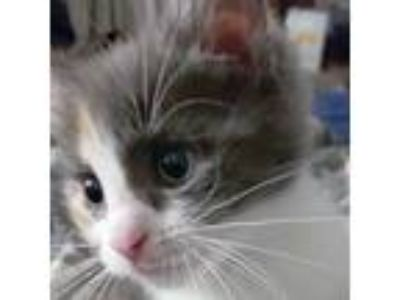 Adopt Lorain a White Domestic Shorthair / Domestic Shorthair / Mixed cat in