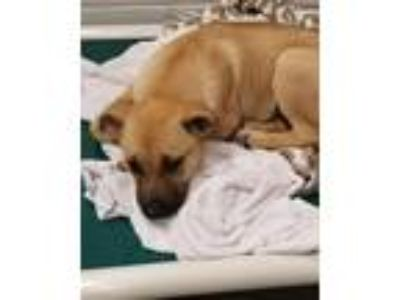 Adopt Indy and Mila a Tan/Yellow/Fawn Shepherd (Unknown Type) / Mixed dog in