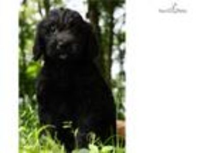 Missy Adorable Goldendoodle Puppy Ready to go