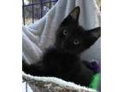 Adopt MARCO a All Black Domestic Shorthair / Mixed (short coat) cat in West Palm