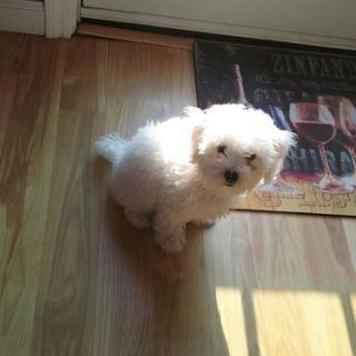 Bichon Frise PUPPY FOR SALE ADN-90876 - Female Bichon Frise Puppy 12 weeks