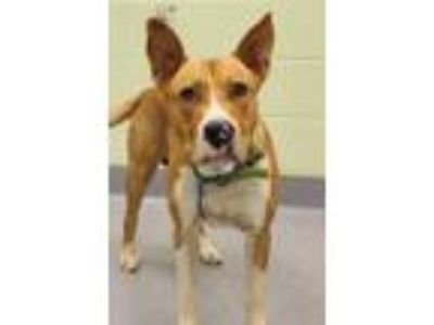 Adopt Romper a Pit Bull Terrier, Mixed Breed