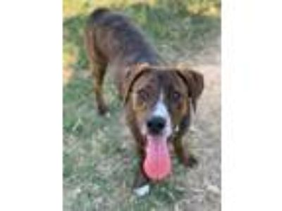 Adopt Chase 532-19 a Brown/Chocolate Plott Hound / Mixed dog in Cumming