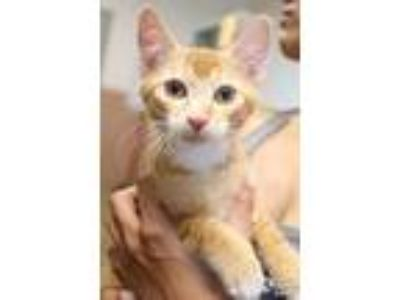 Adopt Sunny a Domestic Medium Hair