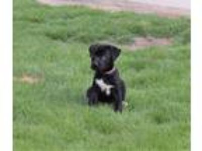 Adopt Taylor Swift a Black Shepherd (Unknown Type) / Labrador Retriever / Mixed