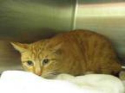 Adopt Sox a Orange or Red Domestic Shorthair / Domestic Shorthair / Mixed cat in