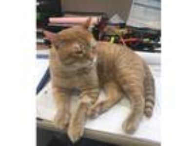 Adopt Mikey a Orange or Red (Mostly) Domestic Shorthair (short coat) cat in