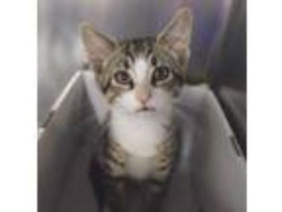 Adopt James a Brown or Chocolate Domestic Shorthair / Domestic Shorthair / Mixed