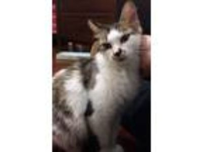 Adopt Truffle Kerfuffle (Has Application) a Domestic Medium Hair