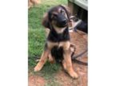 Adopt Rex a Black - with Tan, Yellow or Fawn Golden Retriever / German Pinscher