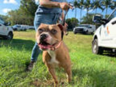 Adopt RAVEN a Brown/Chocolate - with White American Staffordshire Terrier /