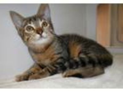 Adopt Lightning Bug a Domestic Short Hair