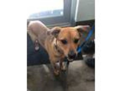 Adopt Roscoe a Brown/Chocolate Mixed Breed (Medium) / Mixed dog in Florence