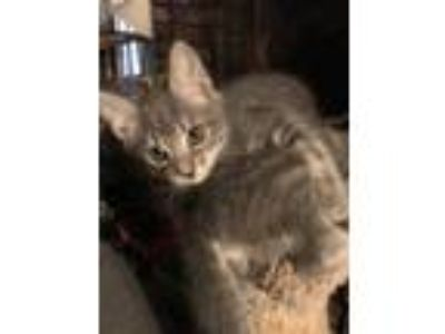 Adopt Tiny a Gray or Blue (Mostly) American Shorthair / Mixed cat in Selma