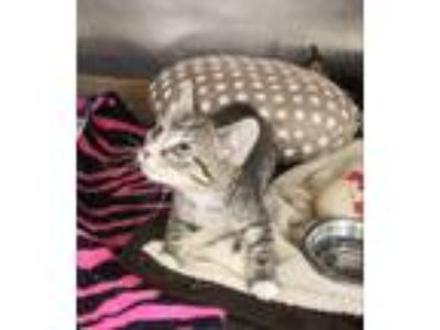 Adopt Chicken a Domestic Shorthair / Mixed (short coat) cat in Fort Myers