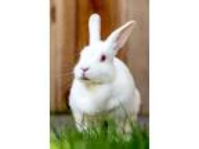 Adopt Fluffernutter a Albino or Red-Eyed White Florida White / Mixed rabbit in