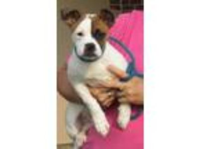 Adopt Chucky a White - with Brown or Chocolate Boxer / Mixed dog in Mount
