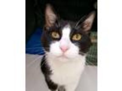 Adopt Knack a Black & White or Tuxedo Domestic Shorthair / Mixed cat in St.