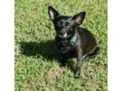Adopt Poppy a Rat Terrier