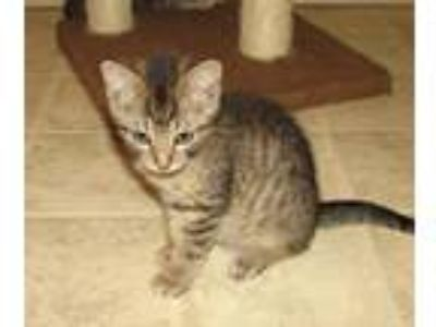 Adopt Gillie (baby boy) a Brown Tabby Domestic Shorthair / Mixed (short coat)